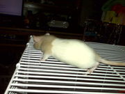 3 baby male rats:not for food for snakes only as pets